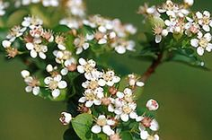 Aronia - (Viking) in bloom. Pic 3 of 4.