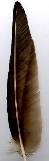 NativeTech: TURKEY VULTURE - WING FEATHER