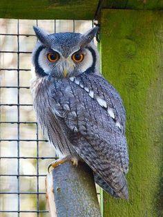 Beautiful blue owl
