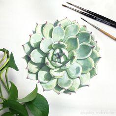 aaronapsley: Echeveria colorata - watercolor botanical illustration.
