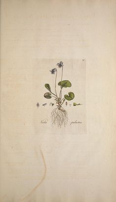 Flora Londinensis, William Curtis botanical plate viola