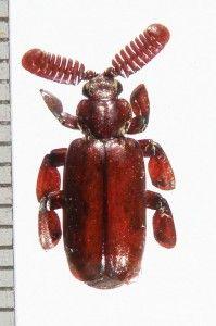 CARABIDAE PAUSSINAE Homopterus steinbachi