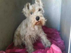 Neglected little schnauzer overlooked at busy California shelter