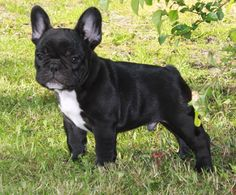 franse bulldog puppy - Google zoeken