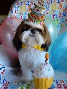 Shih Tzu birthday!