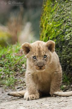 li'l lion | A pic from a lion cub at Zoo Basel