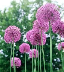 Alliums - sk perennial*have these planted in droves on the property line.