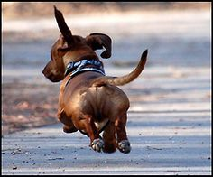 It's a little-known fact that Dachshunds can fly ...........click here to find out more http://googydog.com
