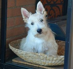 Wheaten scottish terrier puppy