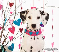 Valentine Dalmation