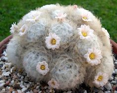Mammillaria Plumosa rare feather cactus cacti soft exotic seeds PACKAGE OF 15 SEEDS -- Awesome products selected by Anna Churchill Succulent Seeds, Succulent Gardening, Cacti And Succulents, Planting Succulents, Cacti Garden, Unusual Plants, Rare Plants, Exotic Plants, Cool Plants