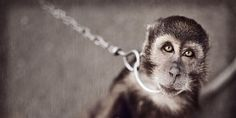 Thailand: Free Chained and Caged Monkeys Forced to Perform Tricks for Tourists!