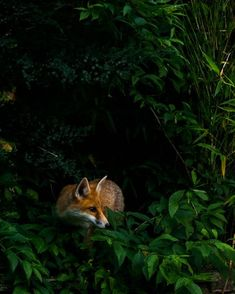 Red Fox by Joël Kocher - National Geographic Your Shot