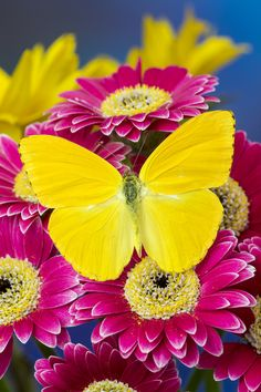Sulfur Butterfly on Gerber Daisies
