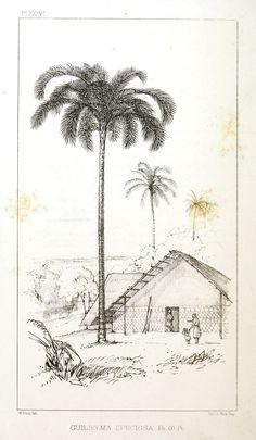 Botanical - Engraving - Trees - Amazon Palm Trees -   (33)