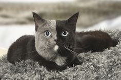 This adorable cat was born with a flawless split of grey and black fur divided almost perfectly down the middle of her face