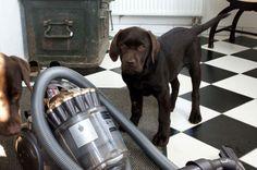 Chocolate Labrador Retriever UFO http://www.meinwortreich.de/k2-2/mein-tierreich/schokolabbys/schokolabby-storys/item/157-mondfahrt