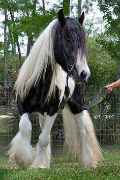 gesunde und gut ausgebildete tinker pferde dieses pferd. Black Bedroom Furniture Sets. Home Design Ideas