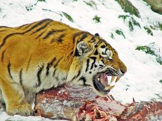 scary tiger - Google Search