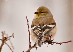 American Goldfinch- pic taken by mom