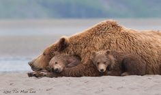 Bear family sleeping, Katmai, Alaska. 600mm, 1.4x, f/11, 1/500s, ISO 1600