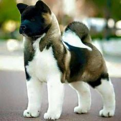 Akita Dog Breed Information, Beliebte Bilder - Akita Dog, Cute Puppies, Cute Dogs, Dogs And Puppies, Akita Puppies For Sale, Puppies Tips, Doberman Pinscher, Animals And Pets, Cute Animals