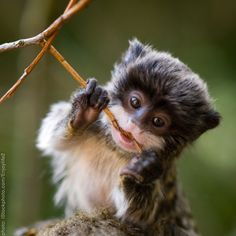Baby emperor tamarin - Oh my God.  I squealed and startled everyone in the house.