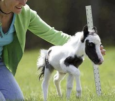 World's Smallest Stallion ~ Einstein ~ He was born in New Hampshire in April 2010 and stands just 20 inches tall. He will not be officially recognized by Guinness World Records as the world's smallest horse until he turns 4 years old.