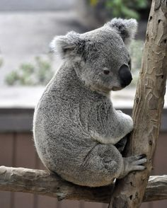 PLEASE SIGN & SHARE!! Even though koalas are a protected species, they are quickly dying off because their habitat is being destroyed for human development. Sign this petition and urge officials to stop decimating koala habitats so this unique species can thrive.