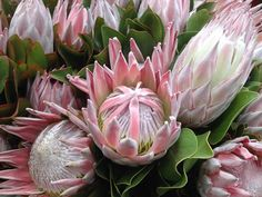 King protea **FALL SALE** live plant about a foot tall rooted and healthy. Protea Plant, Protea Flower, Large Flowers, Pretty Flowers, Prettiest Flowers, King Protea, Hardy Plants, Desert Plants, Plant Sale