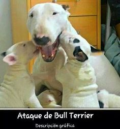 Uplifting So You Want A American Pit Bull Terrier Ideas. Fabulous So You Want A American Pit Bull Terrier Ideas. Bull Terrier Bebe, Mini Bull Terriers, Bull Terrier Puppy, English Bull Terriers, Lab Puppies, Cute Puppies, Cute Dogs, Retriever Puppies, Bulldog Puppies