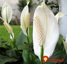 NASA studied houseplants as a way to purify the air in space facilities, here are the plants that improve your indoor air quality best. Inside Plants, Cool Plants, Dracaena Plant, Buy Plants Online, House Plant Care, Best Indoor Plants, Peace Lily, Plant Needs, Flowers