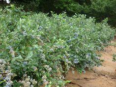 Planta en el cuarto año de injerto iniciando la tercera cosecha en agosto de 2009