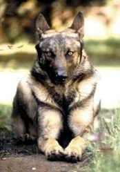 Lupo Italiano wolfdog. Sometimes I think hybrids are better looking than wolves.