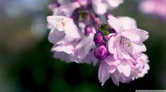 Purple Spring Flowers Macro HD desktop wallpaper High Definition