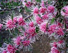 View picture of Hakea 'Burrendong Beauty' (Hakea) at Dave's Garden. All pictures are contributed by our community. Australian Wildflowers, Australian Native Flowers, Australian Plants, Garden Shrubs, Landscaping Plants, Garden Plants, Coastal Landscaping, Australian Native Garden, Nature Plants