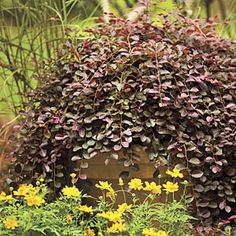 Purple Pixie loropetalum..... @Brian Putvin container on top of ugly tree stump....problem solved!  :)