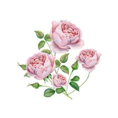 Free Image on Pixabay - Rose, English Free Pictures, Free Images, Watercolor Flower, Seasons, Illustration, Anniversary, Birthday, Watercolor Rose, Birthdays