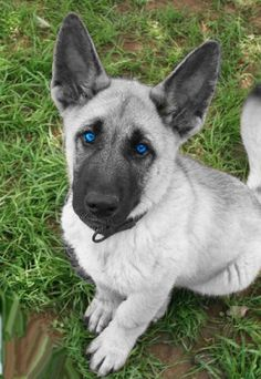 White german shepherd puppies with blue eyes!