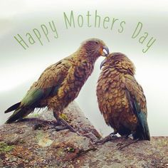 To all you #hardworking #mothers out there. Hope you have a #fabulous day #happymothersday #mothersday #naturalbeauty #loveyourmother #sustainablebesuty #liveconciously #naturalbodyproducts #cleanbeauty #naturalworld #nz #kea #mountainparrot by brightonmine