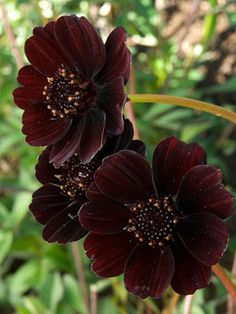 "Chocolate Cosmos: height: 1-3ft spread: avg: 18"" light: full sun blooms in: mid-summer - fall"
