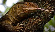 Monitor Lizard Chameleons, Lizards, Snakes, Lizard Species, Outdoor Family Photography, Monitor Lizard, Apex Predator, Reptiles And Amphibians, Flora And Fauna