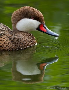 White-cheeked Pintail by © peter orr photography, via Flickr.com