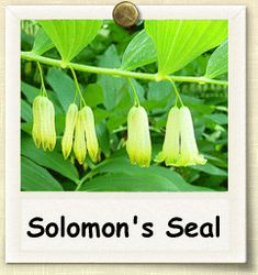 For next year. Solomons seal would be a good addition to my healing herb garden for infused oils/ salves etc.How to Grow Solomon's Seal Solomons Seal, Infused Oils, 16th Century, Herb Garden, Cactus Plants, Old World, Bones, Herbalism, Seeds