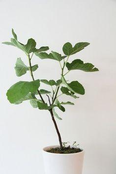 Fiddle Leaf Fig tree.