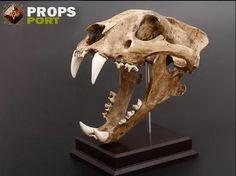 Manchurian Tiger Skull