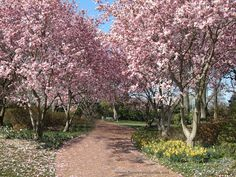 At peak bloom, our Magnolia walk can really take your breath away.