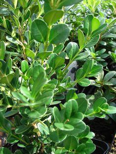 Množení arozmnožování buxusu Nejjednodušším možným způsobem rozmnožování… Evergreen Shrubs, Trees And Shrubs, Buxus, Clay Soil, Plant Decor, Shades Of Green, Plant Leaves, Succulents, Scenery