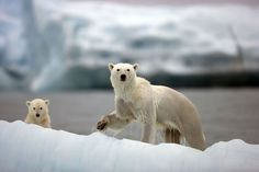 Mother polar bear & cub on 1st journey  in search of prey. Nature's Great Events on #BBCOne via @guardian #polarbear #photos