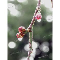 Fine Art, Printable Photograph, Rain Drops, Landscape, Illustration,... ($4.20) ❤ liked on Polyvore featuring home, home decor, wall art, photo illustration, flower stem, photo wall art, blossom wall art and flower wall art